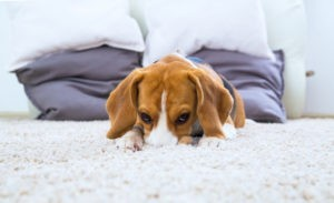 Pet Odor Removal Colorado Springs
